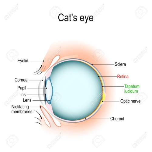 small resolution of anatomy of the cat s or dog s eye vertical section of the eye cat eyelid diagram anatomy