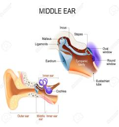 diagram of the anatomy of the human ear three ossicles malleus incus and stapes hammer anvil and stirrup the ossicles directly couple sound energy  [ 1300 x 1300 Pixel ]