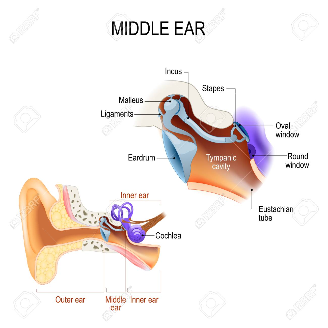 hight resolution of diagram of the anatomy of the human ear three ossicles malleus incus and stapes hammer anvil and stirrup the ossicles directly couple sound energy