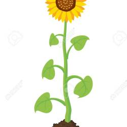 Sunflower Bud Cartoon   Gardening: Flower and Vegetables