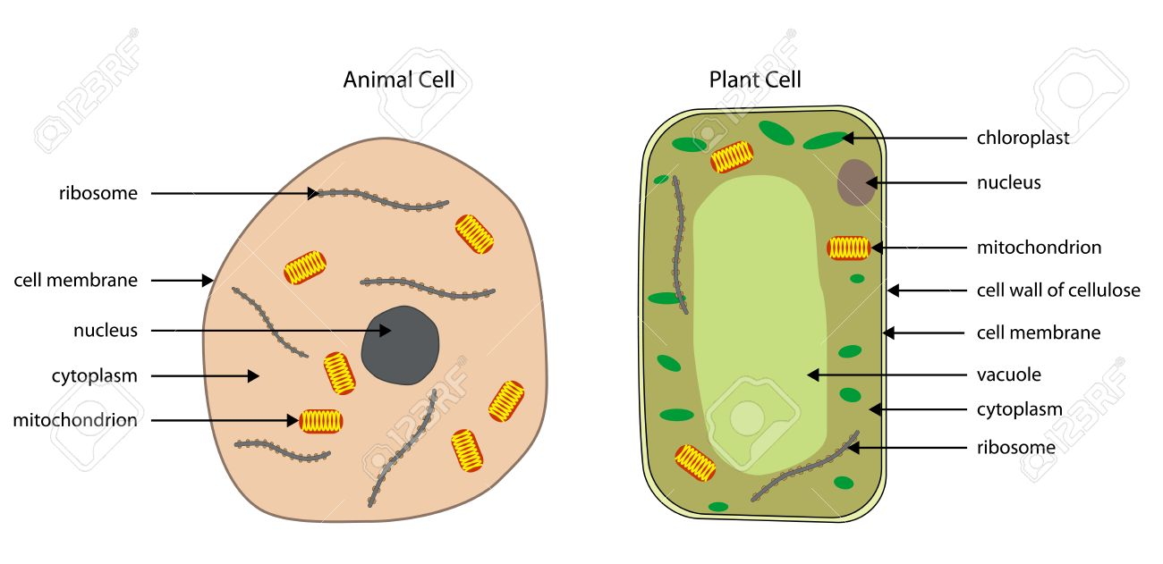 hight resolution of labelled diagrams of typical animal and plant cells with editable layers stock vector 32521141