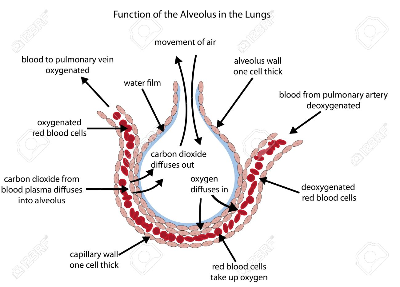 hight resolution of fully labelled diagram of the alveolus in the lungs showing gaseous exchange stock vector