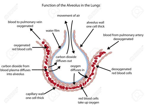 small resolution of fully labelled diagram of the alveolus in the lungs showing gaseous exchange stock vector