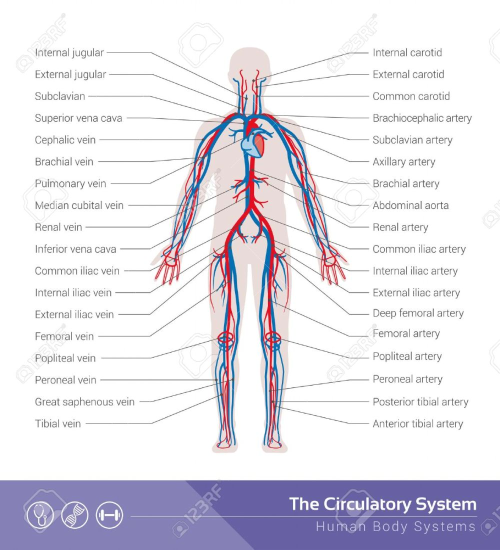 medium resolution of the circulatory or cardiovascular human body system medical illustration stock vector 44484166