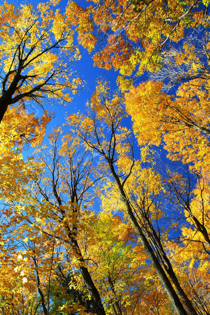 Blue Maple Tree : maple, Maple, Trees, Glowing, Sunshine, Background, Stock, Photo,, Picture, Royalty, Image., Image, 1979940.