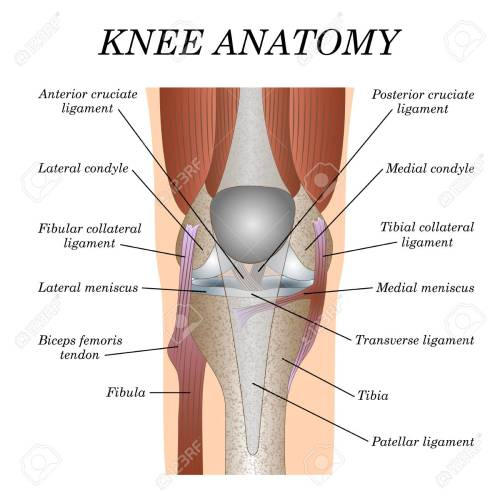 small resolution of anatomy of the knee joint front view template for training a medical surgical poster