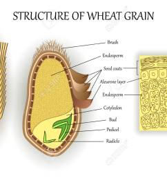 structure of wheat seed grain vector infographics layers of endosperm bud fetus  [ 1300 x 975 Pixel ]