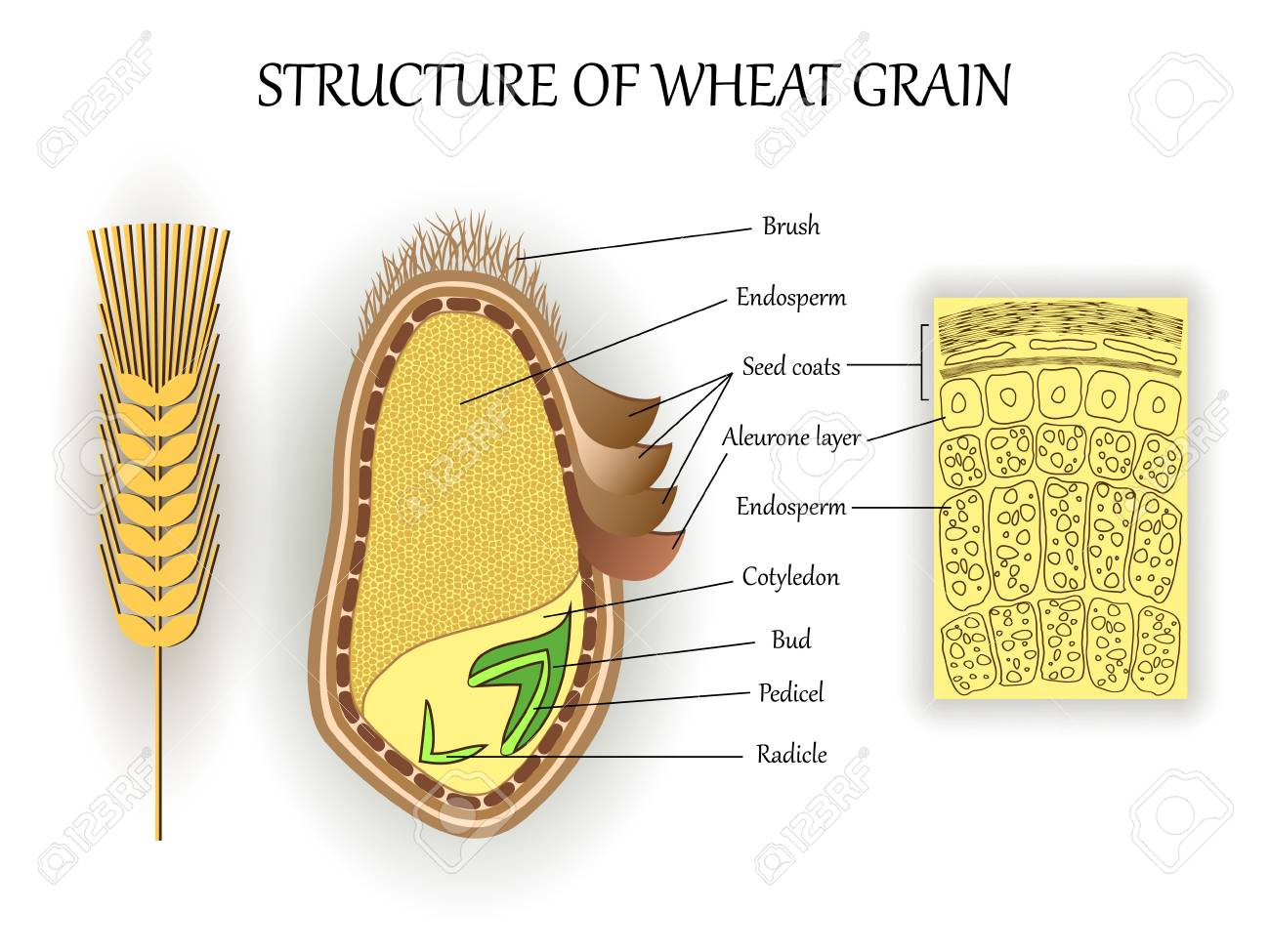 hight resolution of structure of wheat seed grain vector infographics layers of endosperm bud fetus