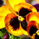 Pansy Is A Amazing Flower And Its Multi Colour Combination Is Stock Photo Picture And Royalty Free Image Image 120445207