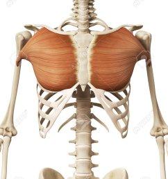 muscle anatomy the pectoralis major stock photo 32521312 [ 974 x 1300 Pixel ]