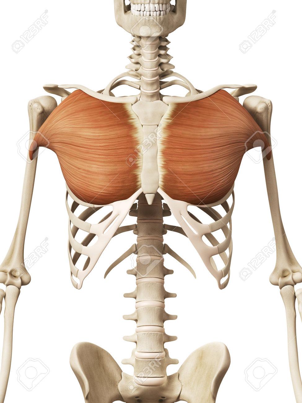 medium resolution of muscle anatomy the pectoralis major stock photo 32521312