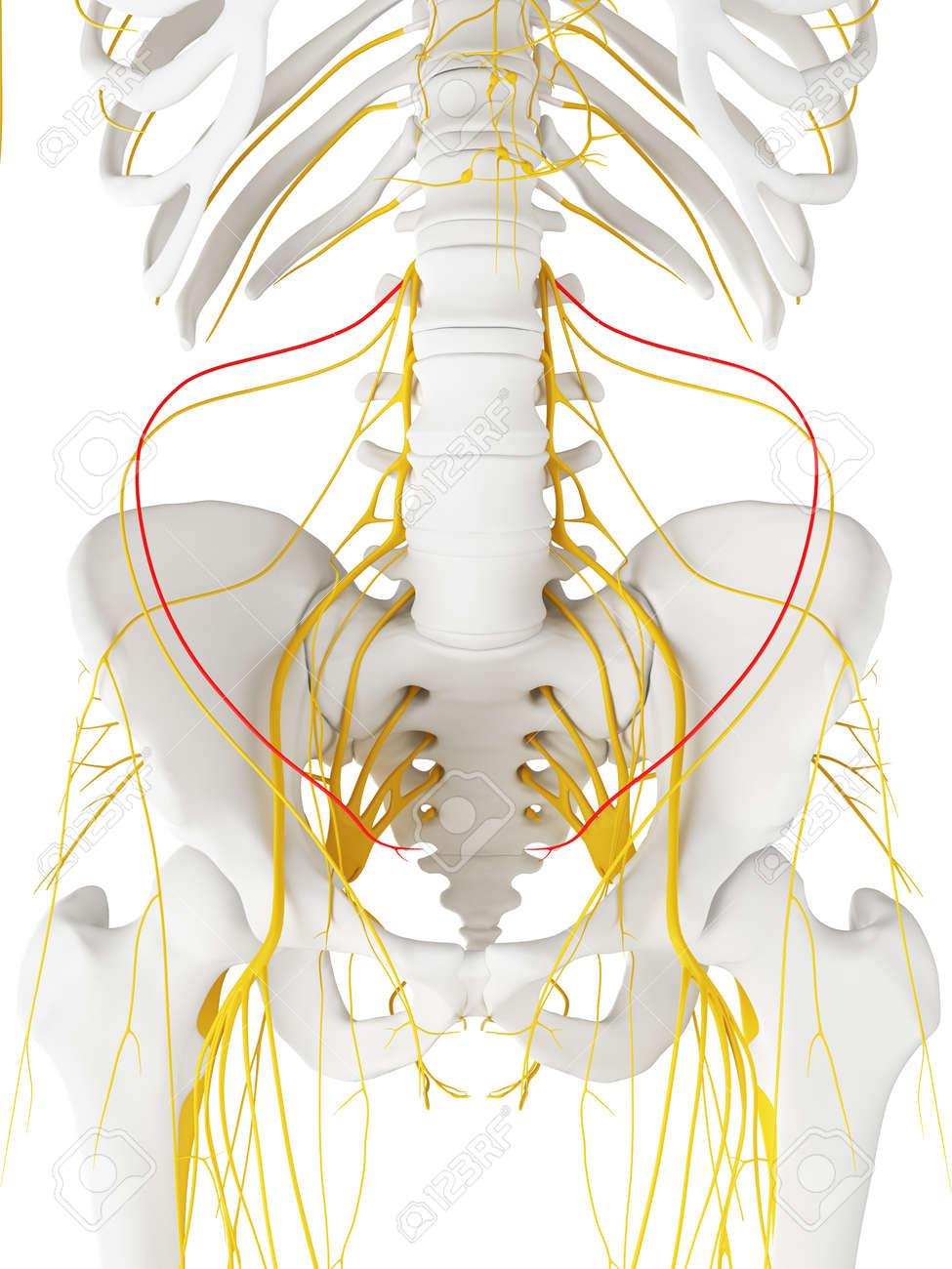 hight resolution of 3d rendered medically accurate illustration of the iliohypogastric nerve stock illustration 87650828