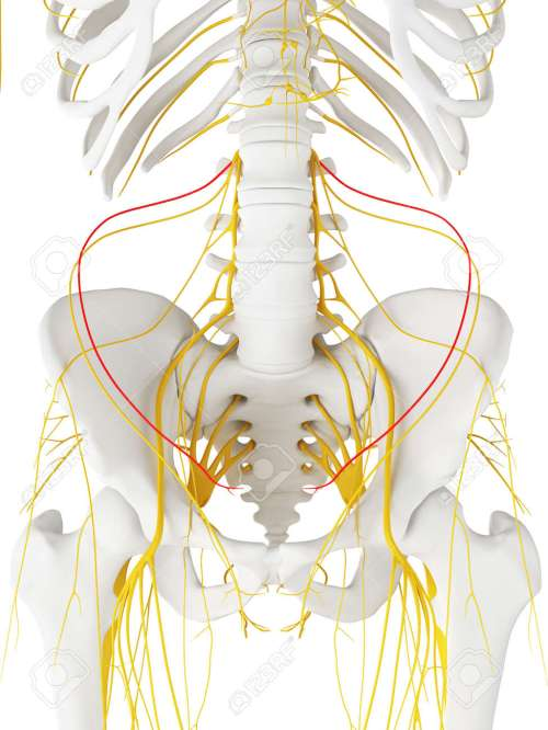 small resolution of 3d rendered medically accurate illustration of the iliohypogastric nerve stock illustration 87650828
