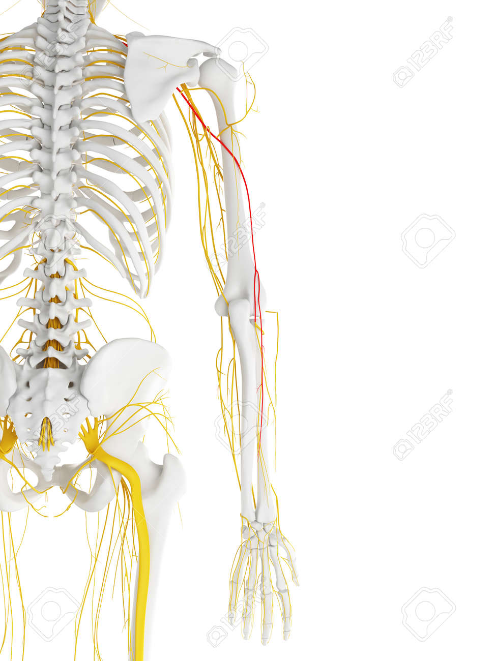 radial nerve diagram sony cdx gt450u wiring 3d rendered medically accurate illustration of the stock 87650925