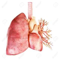 Human Heart And Lungs Diagram Albright Winch Solenoid Wiring Medically Accurate Illustration Of The Lung Stock