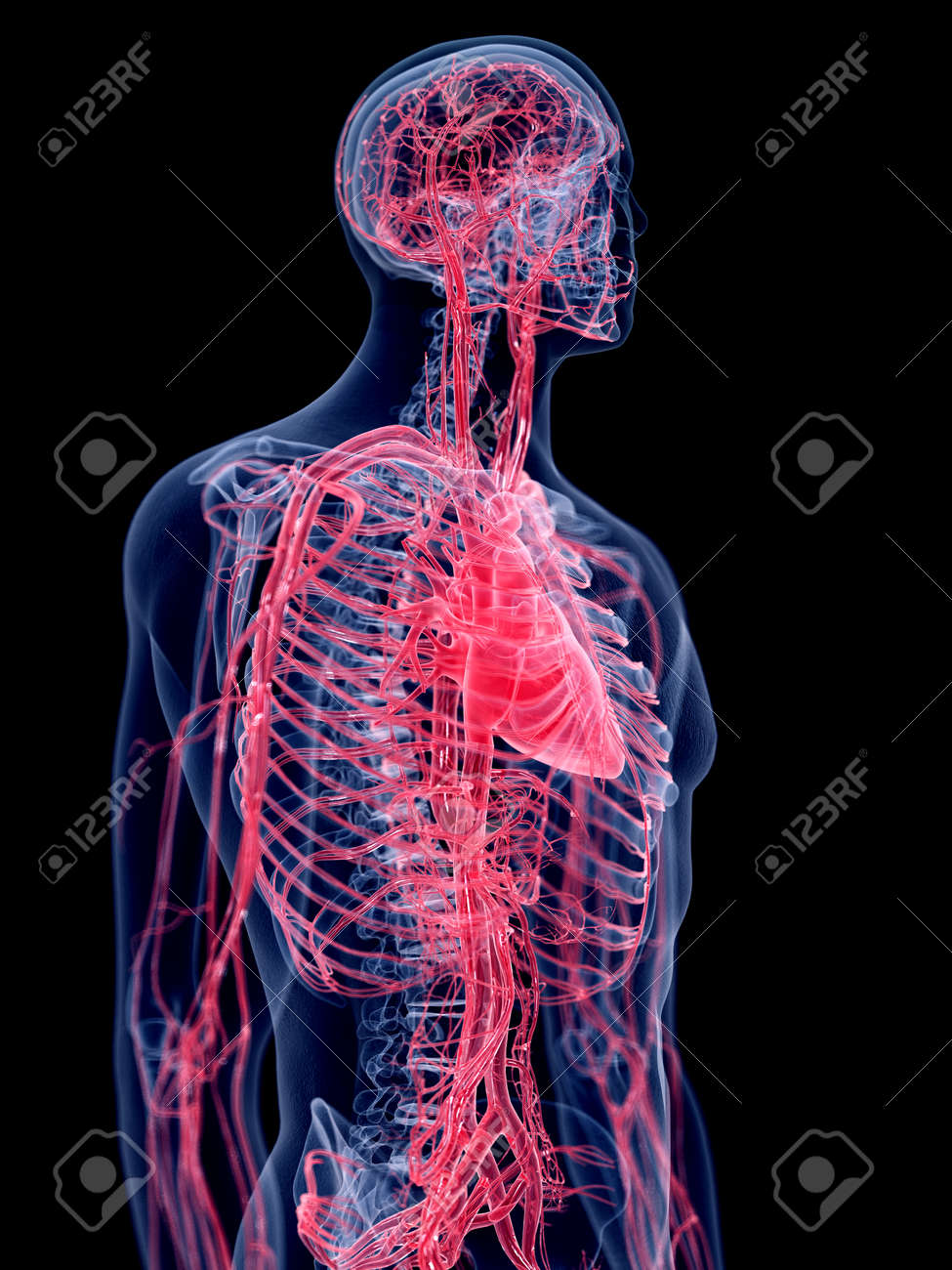 human vascular anatomy diagram guitar wiring 1 humbucker volume 3d rendered medically accurate illustration of the system stock 110234327