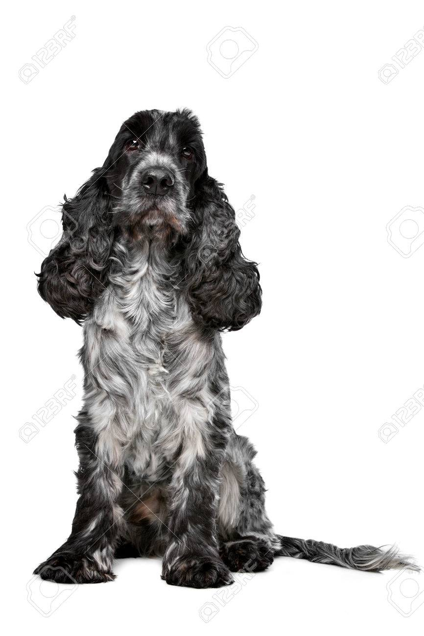 Roan Cocker Spaniel : cocker, spaniel, Cocker, Spaniel, Front, White, Background, Stock, Photo,, Picture, Royalty, Image., Image, 43146068.