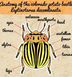 insect anatomy sticker colorado potato beetle leptinotarsa beetle diagram related keywords suggestions beetle diagram long [ 1300 x 1300 Pixel ]