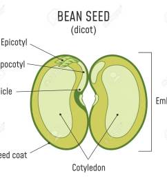 bean seed structure anatomy of grain dicot seed diagram stock vector 124796334 [ 1300 x 1114 Pixel ]