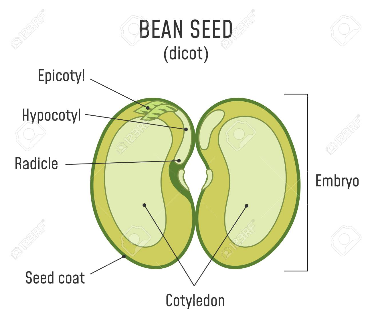 hight resolution of bean seed structure anatomy of grain dicot seed diagram stock vector 124796334