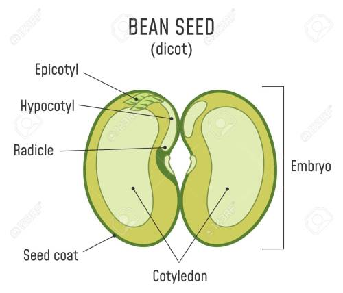 small resolution of bean seed structure anatomy of grain dicot seed diagram stock vector 124796334