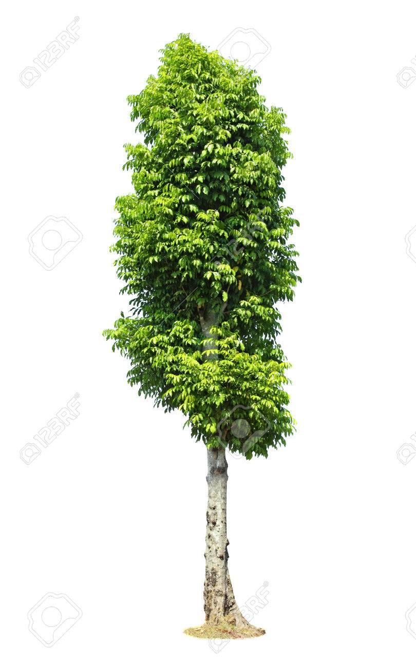 arbre vert magnifique sur un fond blanc en haute definition sur fond blanc banque d images et photos libres de droits image 23450277