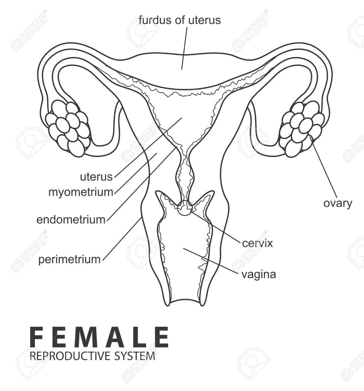 hight resolution of female reproductive system stock vector 46754674