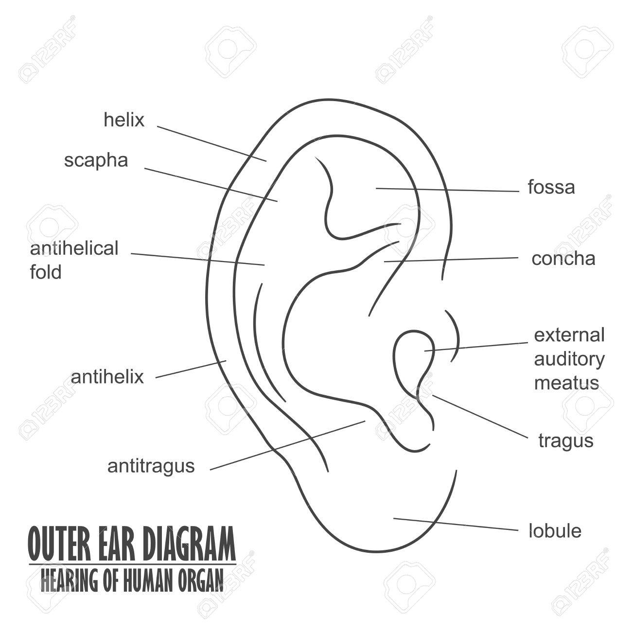 hight resolution of outer ear diagram hearing of human organ royalty free clipartsouter ear diagram hearing of human organ