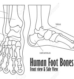 human foot bones front and side view anatomy stock vector 56644895 [ 1300 x 860 Pixel ]