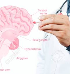 doctor and anatomy of human brain for basic medical education stock photo  [ 1300 x 620 Pixel ]