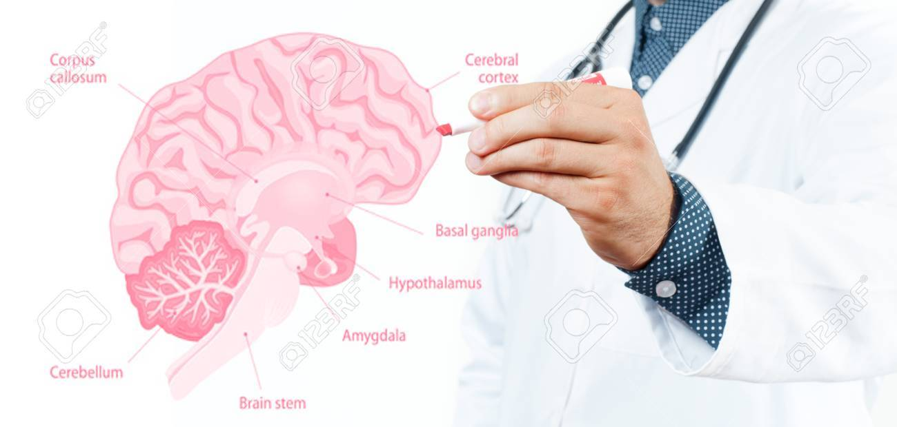 hight resolution of doctor and anatomy of human brain for basic medical education stock photo