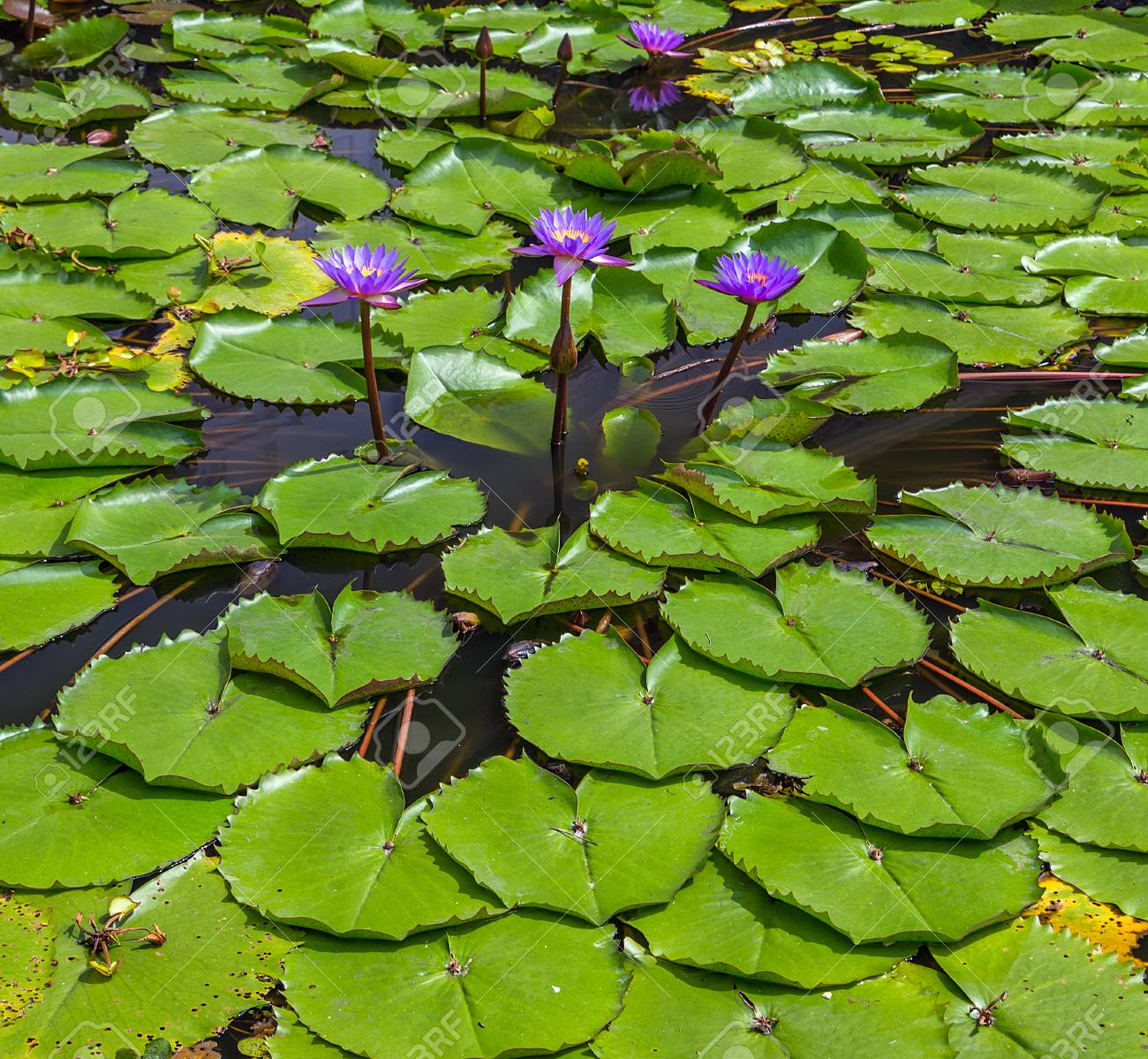 lotus flowers blooming lotus
