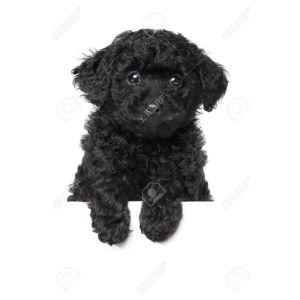 Catchy Poodle Names Poodle Names Ideas Naming Your Poodle