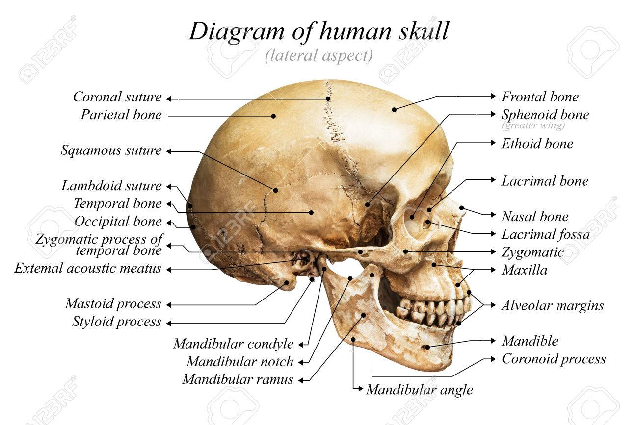 human mandible diagram bms system wiring lateral aspect of skull on white background for basic medical education stock photo
