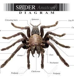 banque d images diagramme de tarantula spider eurypeima spiciness esp ces sur fond blanc [ 1300 x 931 Pixel ]