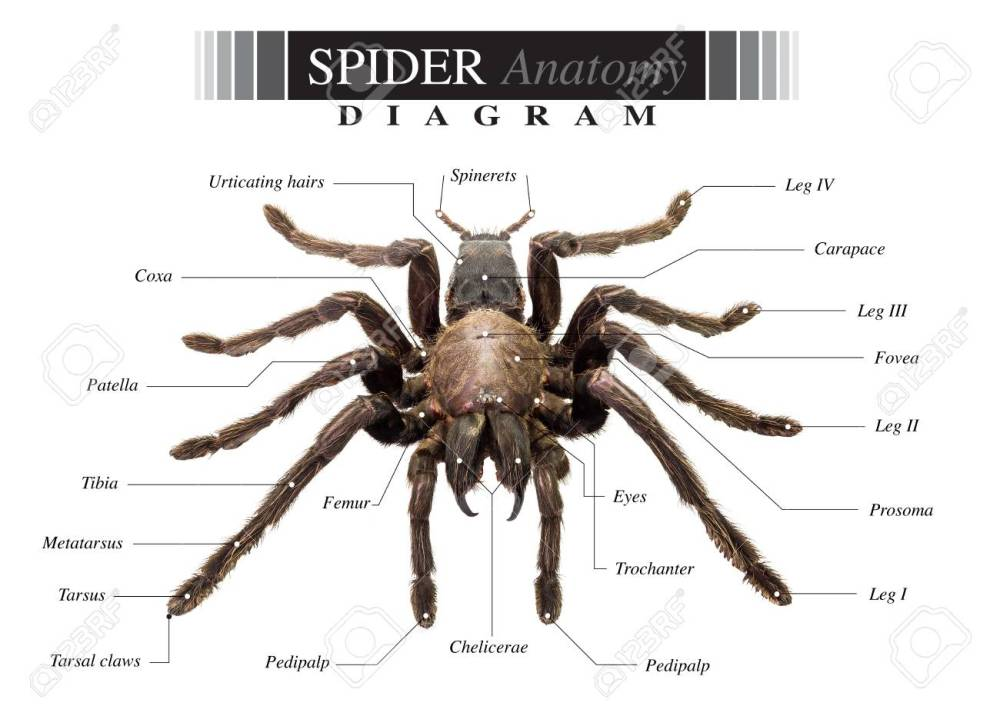 medium resolution of banque d images diagramme de tarantula spider eurypeima spiciness esp ces sur fond blanc