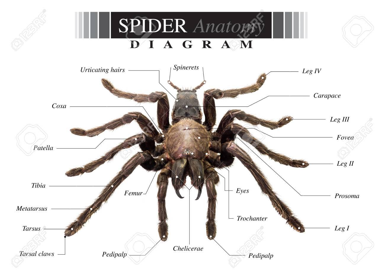 hight resolution of banque d images diagramme de tarantula spider eurypeima spiciness esp ces sur fond blanc