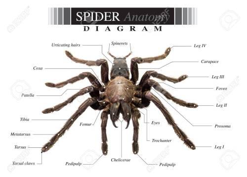 small resolution of banque d images diagramme de tarantula spider eurypeima spiciness esp ces sur fond blanc