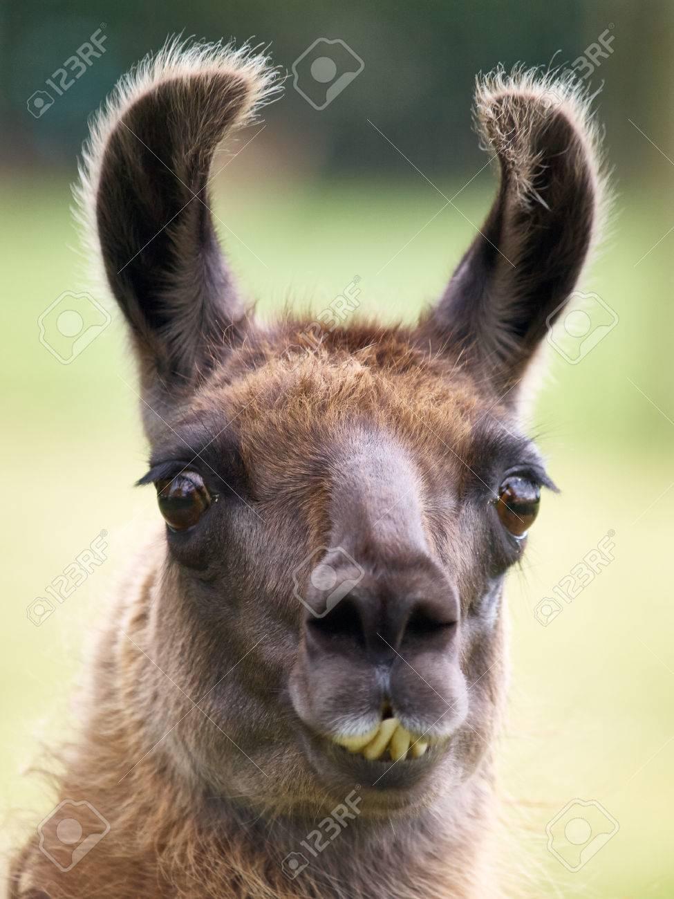 Funny Looking Llama : funny, looking, llama, Funny, Looking, Llama, Pictures