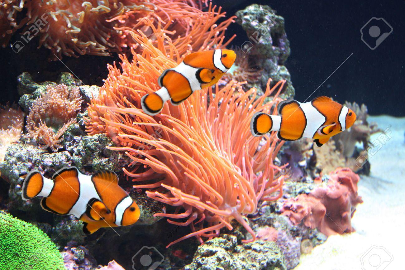 sea anemone and clown