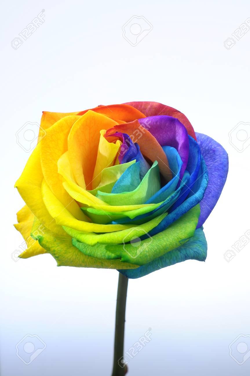 Rose Arc En Ciel : Heureux:, Couleur, Fleur, Pétales, Banque, D'Images, Photos, Libres, Droits., Image, 34611515.