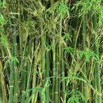 Natural Green Bamboo Tree Texture Stock Photo Picture And Royalty Free Image Image 21729842