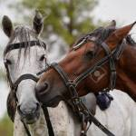 Couple Of Horse Portrait On Green Field Close Up Two Horses Stock Photo Picture And Royalty Free Image Image 129453726