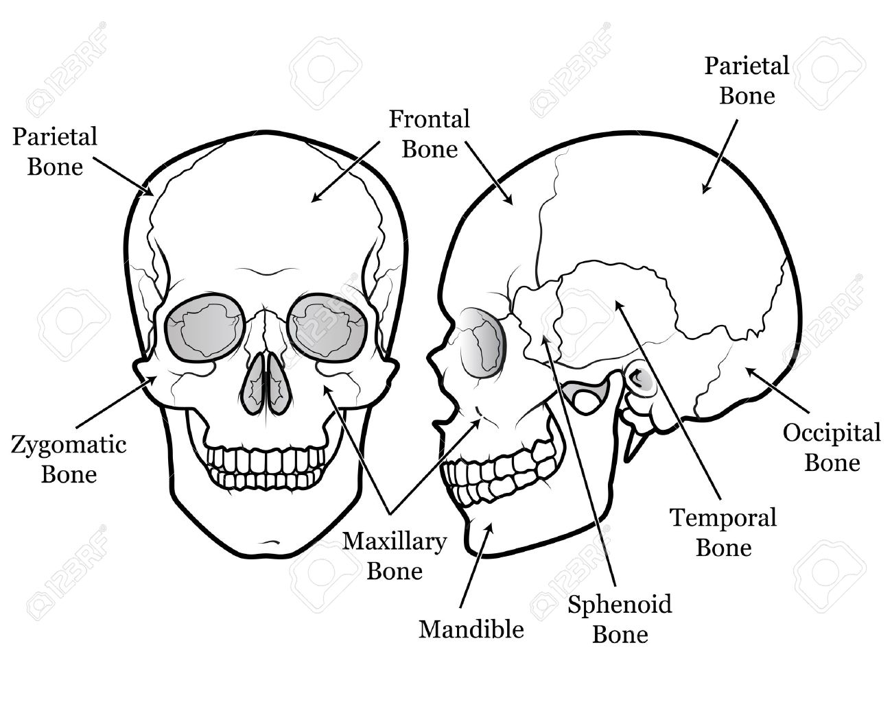 hight resolution of human skull chart royalty free cliparts vectors and stock diagram of skull muscles diagram of a skull