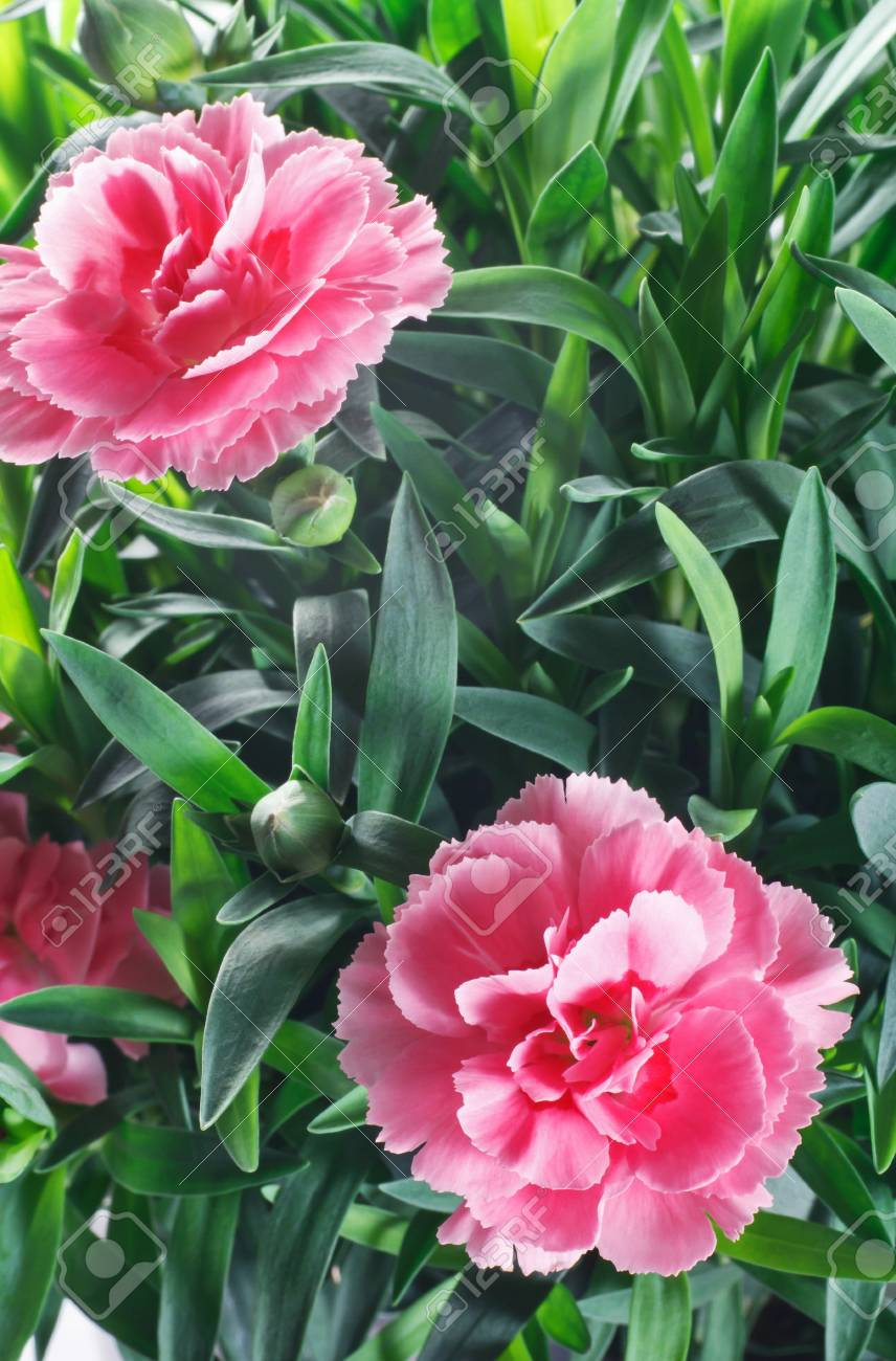 closeup of carnation flowers