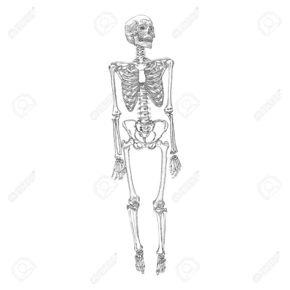 medium resolution of human bones skeleton standing drawing with arms legs skull vector illustration