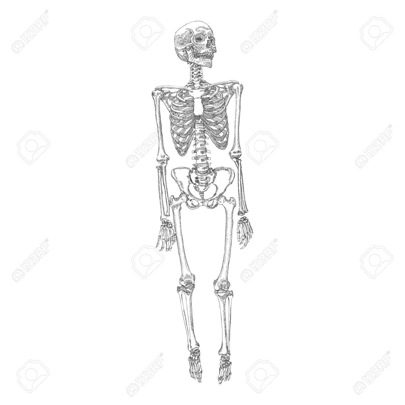hight resolution of human bones skeleton standing drawing with arms legs skull vector illustration