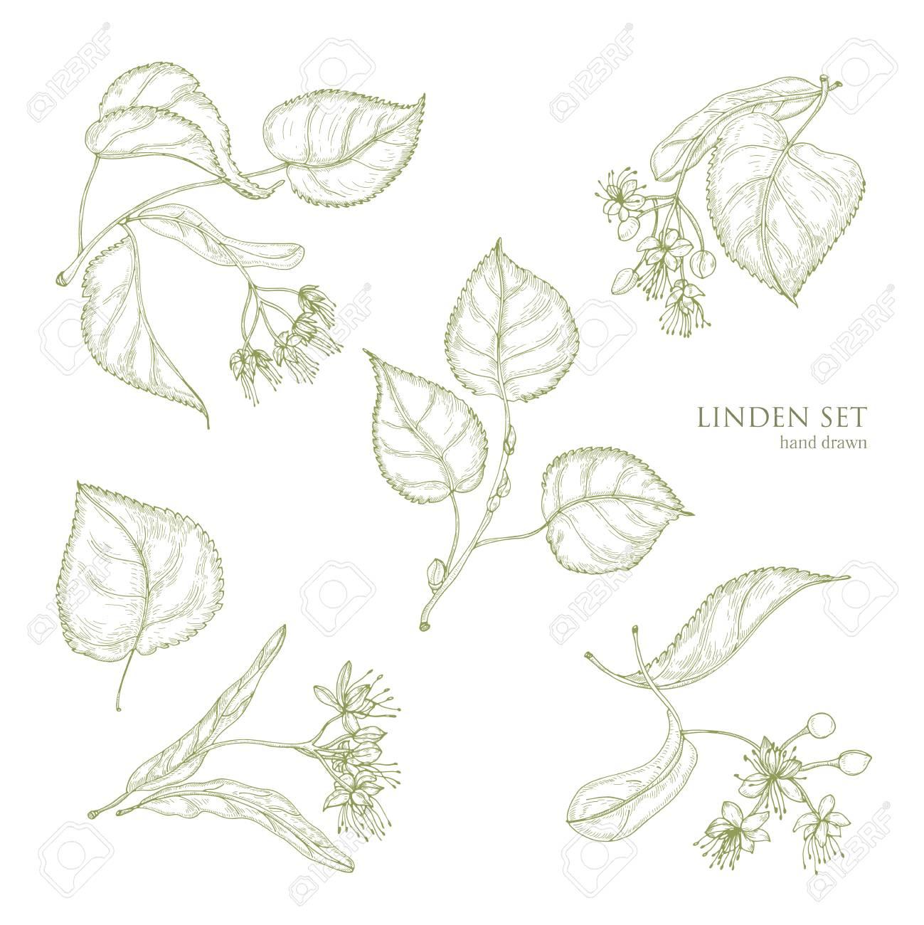 dessins naturels realistes de feuilles de tilleul et de belles fleurs tendres parties de la main d arbre fleuri dessines avec des lignes de contour