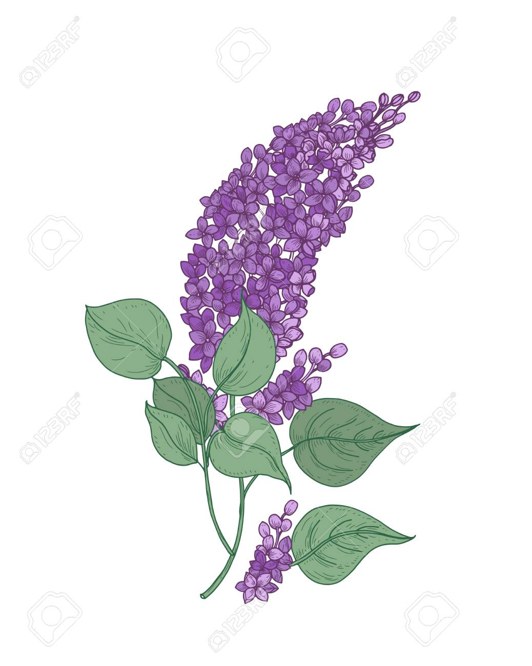 Lilac Flower Drawing : lilac, flower, drawing, Detailed, Botanical, Drawing, Lilac, Branch, Purple, Flowers.., Royalty, Cliparts,, Vectors,, Stock, Illustration., Image, 97311868.