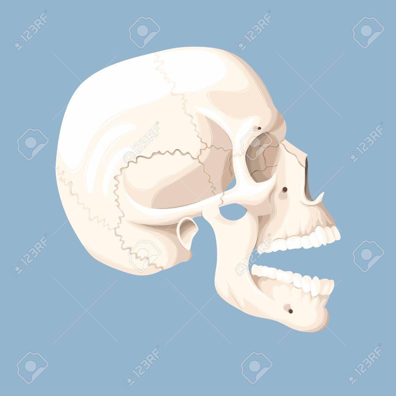 inside skull diagram allen bradley transformer wiring diagrams open block vector illustration of human with mouth royalty free